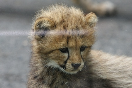 多摩動物公園110603-チーターの赤ちゃん-18