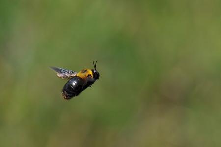 コシブトハナバチ科 クマバチ♂