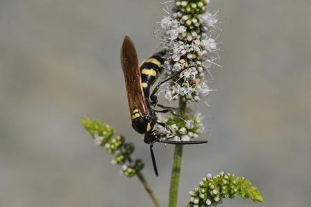 ツチバチ科 オオモンツチバチ♂