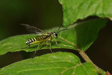 ハバチ科 クロムネアオハバチ♀
