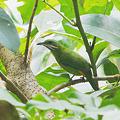 写真: アカハラコノハドリ(♀)(Orange_bellied leafbird) P1120702_R