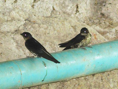 オオコシアカツバメ(Striated Swallow) P1130987_R2