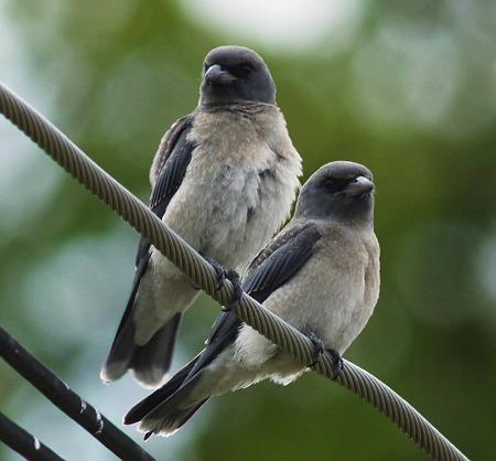 ハイイロモリツバメ(Ashy Wood-swallow) P1170704_R2