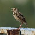 Photos: チャバネヤブヒバリ(Rufous-winged Bushlark)(Indochinese Bushlark) P1230604_R