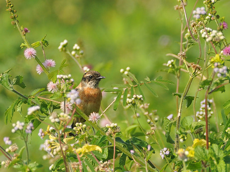 ノビタキ(Common Stonechat) DSC_4352_R