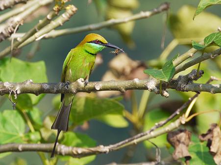 ミドリハチクイ(Green Bee-eater) P1260547_R