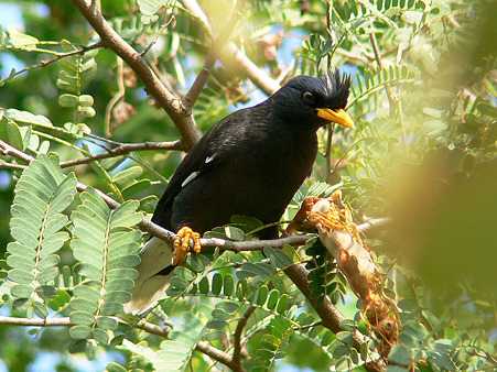 White-vented Myna P1280740_R2