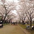 盛岡城跡公園(岩手公園)の桜・1
