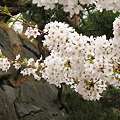 Photos: 盛岡城跡公園(岩手公園)の桜・4