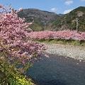 2006年度 河津桜