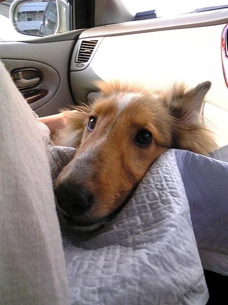 車 酔い 犬