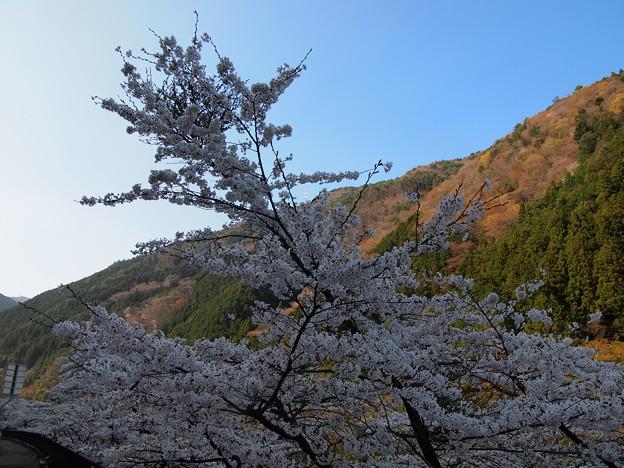P4160291 中山七里の桜その10