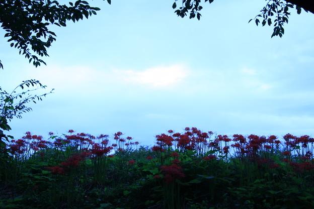 彼岸花の咲く伏見川の土手