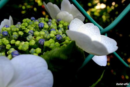 フェンスと紫陽花1