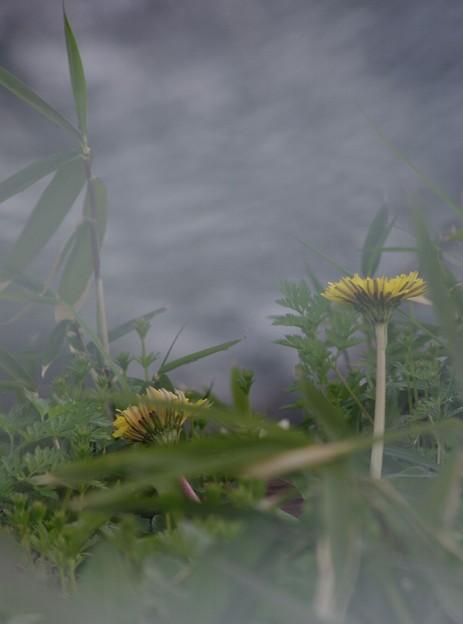瀬に咲く二輪のダンドリオン