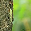 写真: キイロモモブトハバチ