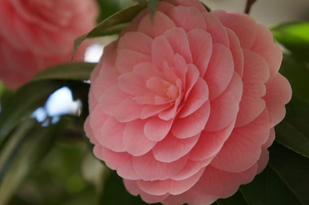 Photos: 稲毛神社の乙女椿1