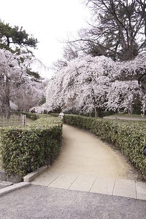 2011-04-02_京都御所_桜19