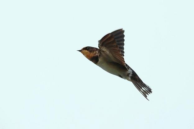 写真: 飛んでる燕さんのアップ画像