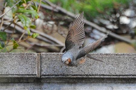 飛んでるヒヨドリ