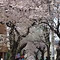 桜道 その3