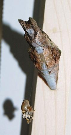 2011年10月03日_DSC_136311クロアゲハの蛹