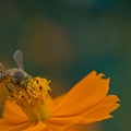 キバナミツバチ