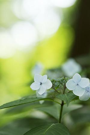 柔らかい光の中で咲く