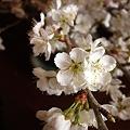 桜桃の花 2