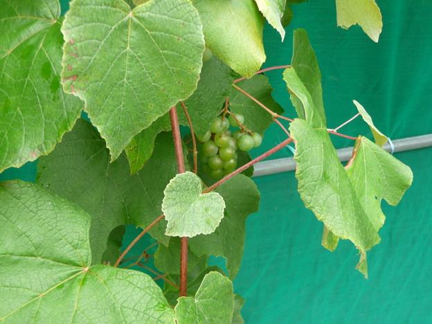 葡萄園の脇に実った葡萄