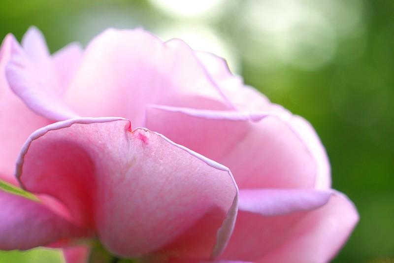 Rose Macro -Shining-