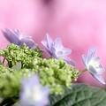 Photos: 紫陽花は心優しく♪~♪