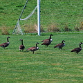 Canada Geese at the Soccer Field