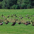 Two Flocks of Canada Geese