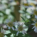 Toothed White-topped Aster 9_11_10