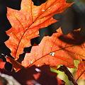 Oak in Red