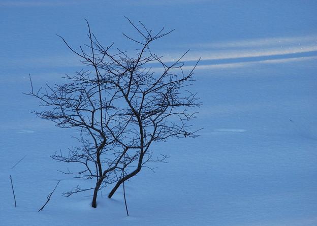 写真: The Blueberry Bush