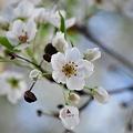 写真: Callery Pear Blossoms 5-13-11