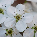 Callery Pear Blossoms at the Bank