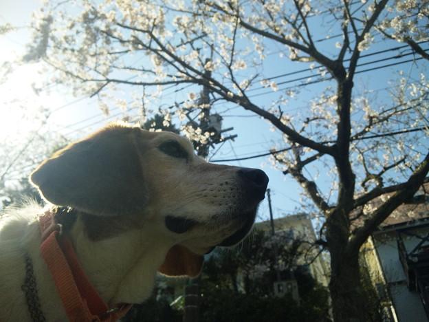 マリンと桜と朝日と家