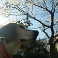 写真: マリンと桜と朝日と家