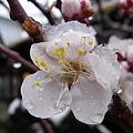 写真: 20110307雪の北鎌倉