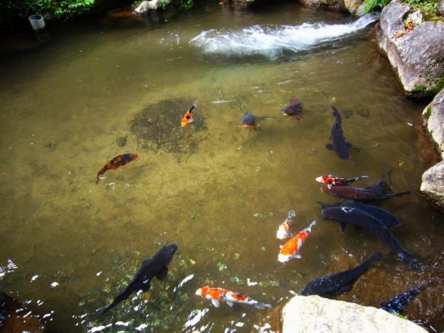 鍾乳洞入口前の鯉