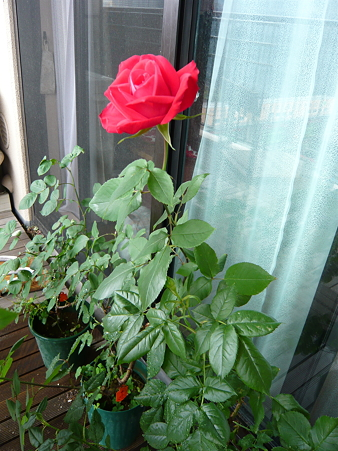 ベランダの薔薇-宴-03