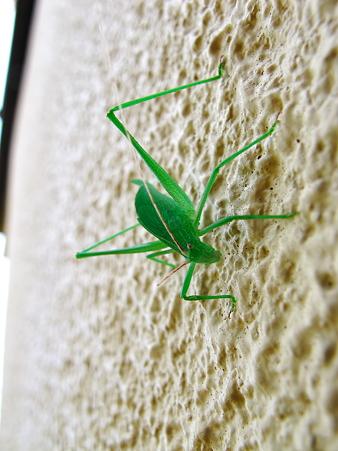 玄関脇の壁にいた緑のヤツ