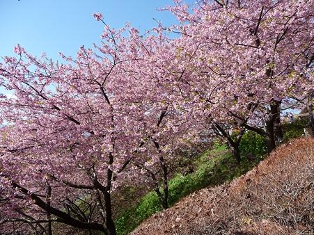 110305-松田山 河津桜 (73)