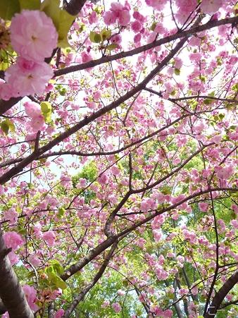 110417-造幣局 桜の通り抜け (83)