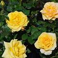 Photos: 黄色のミニバラ4種