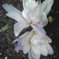 Photos: ついにコルチカムの花が開き...