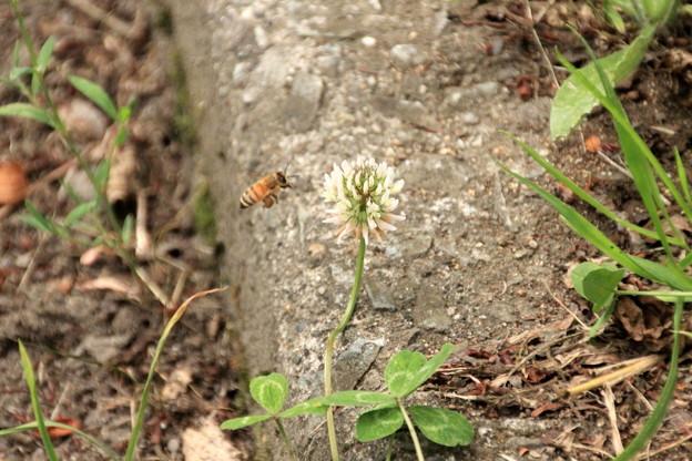 合浦公園・シロツメクサとミツバチ01-12.07.04